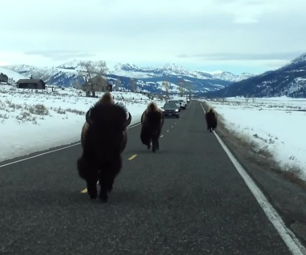 Video: This Bison Just Straight up Hates Cars