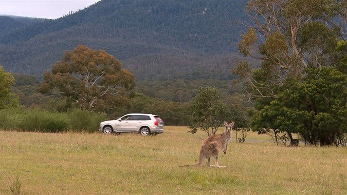 Volvo Refining Pedestrian Detection Tech to Avoid Kangaroos