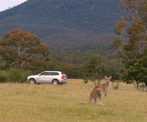 Volvo Refining Pedestrian Detection Tech to Avoid Kangaroos